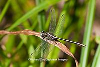 06420-00111 Lancet Clubtail (Gomphurus exilis) male in grass near wetland, Marion Co., IL