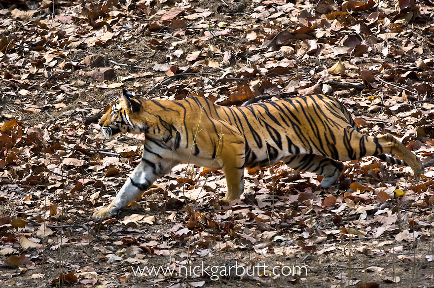 Young female Bengal Tiger (Panthera tigris) - around 15 months (late April 2009). Stalking Chital. Durga's offspring. Bandhavgarh NP, India.