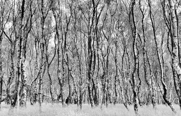 A Silver Birch Forest at Bolehill Quarry, Derbyshire