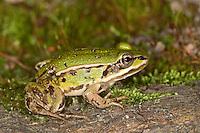 Teichfrosch, Teich-Frosch, Grünfrosch, Frosch, Frösche, Pelophylax esculentus, Rana kl. esculenta, European edible frog