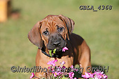 Bob, ANIMALS, REALISTISCHE TIERE, ANIMALES REALISTICOS, dogs, photos+++++,GBLA4368,#a#, EVERYDAY