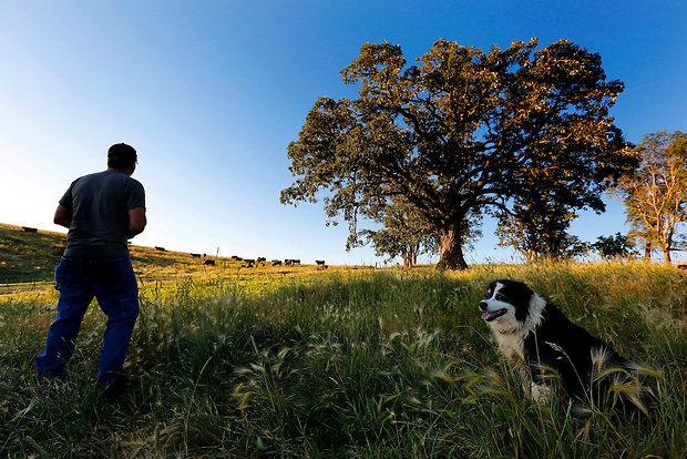 Joined by his dog, Blaze, Justin Dammann pauses to survey a pasture while tending to one of his cattle herds the morning of July 3, 2014 on his rural Page County farm.