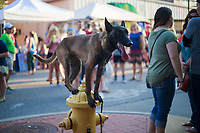 NWA Democrat-Gazette/CHARLIE KAIJO Camille, the dog, balances on a fire hydrant during the First Friday event, Friday, August 3, 2018 at the Bentonville Square in Bentonville. She is a sport competition and protection dog.