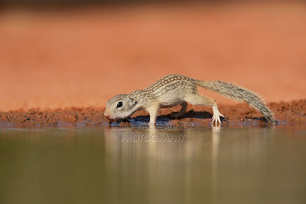 Mexican Ground Squirrel (Spermophilus mexicanus), young drinking at pond, South Texas, USA