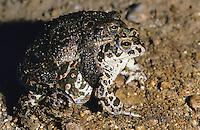 Wechselkröte, Wechsel-Kröte, Grüne Kröte, Paarung, Kopulation, Männchen huckepack auf dem Weibchen, Laichwanderung, Bufotes viridis, Bufo viridis, green toad