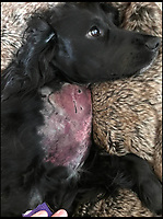 BNPS.co.uk (01202 558833)<br /> Pic: ColinButcher/BNPS<br /> <br /> Colin Butcher's cocker spaniel Molly who was bitten on a job.<br /> <br /> The world's only cat detection dog was almost killed by a deadly snake bite while searching for a lost feline.<br /> <br /> Cocker spaniel Molly was on the trail of the missing cat with her owner Colin Butcher, a pet detective, when she was 'ambushed' by an adder.<br /> <br /> The serpent - the only venomous snake native to Britain - leapt towards Molly and sunk her fangs into her chest as the terrified dog tried to shake it off.<br /> <br /> Mr Butcher rushed to Molly to a vets where she was placed in intensive care for 48 hours.