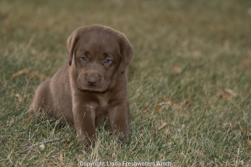 Chocolate lab puppy (Canis familiaris)
