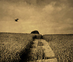 A countryside view of crops in a field with a flying bird