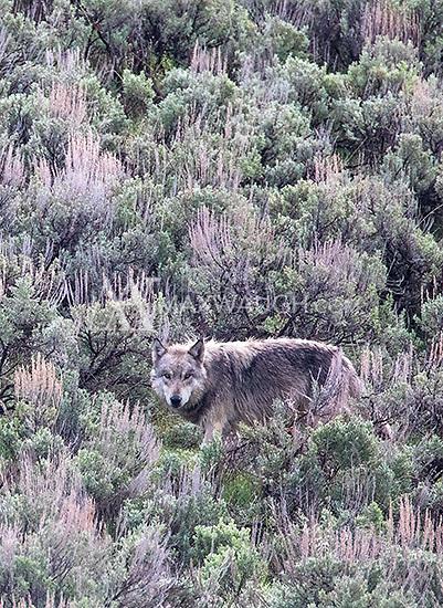 Lamar Canyon wolf pack member 965M.