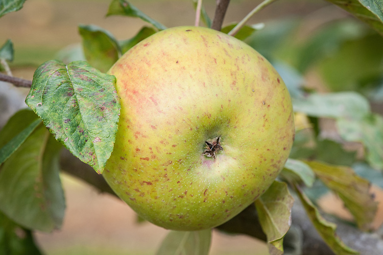 Apple 'Colonel Yate', late September. An English culinary apple from Surbiton in Surrey, raised in about 1905 as a cross betwen 'Lane's Prince Albert x 'Peasgood's Nonsuch'.