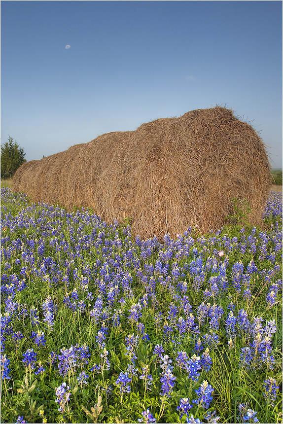 East of Austin, you can often find nice fields of wildflowers in the spring. This field of Texas bluebonnets presented a nice opportunity for a picture with the haybale in it. The moon was in the distance, and the presences of our Texas State wildflower was everywhere. Counldn't pass that up!