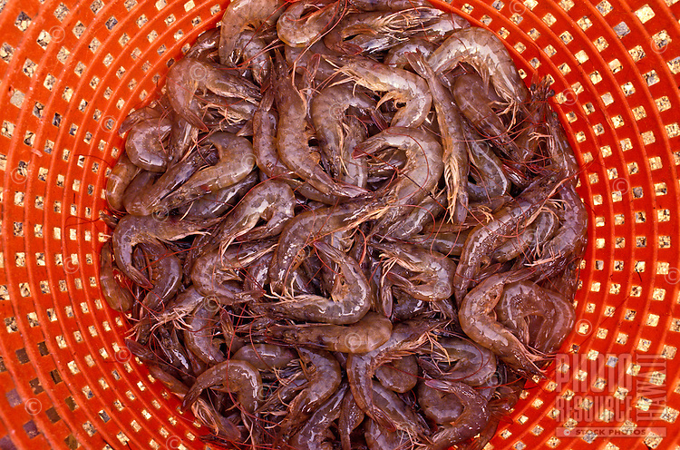 A red mesh basket holds dozens of prawns harvested in Kahuku on the island of Oahu.