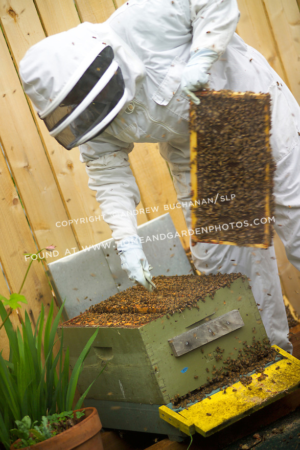 A backyard beekeeper in Seattle, WA, fully dressed in a protective suit, mask, and gloves, replacing one of the many bee-laden combs that populate the brood box as thousands of bees swarm about defending their hive.