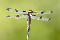 Twelve-spotted Skimmer (Libellula pulchella) Dragonfly - Female, Silver Lake Preserve, West Harrison, Westchester County, New York