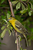 Flame-colored Tanager, Piranga bidentata, female, Madera Canyon, Arizona, USA, May 2005