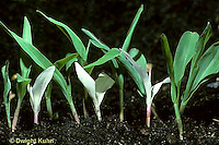 CR02-003a  Genetics - green, albino corn seedlings 3:1 ratio (series CR01-002a,CR02-001j,002a,003a)