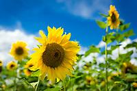 Deutschland, Rheinland-Pfalz, Suedliche Weinstrasse, Siebeldingen bei Landau in der Pfalz: Sonnenblumenfeld | Germany, Rhineland-Palatinate, Southern Wine Route, Siebeldingen near Landau in der Pfalz: field of sunflowers