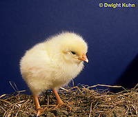 DG05-077x Domestic chick - Just hatched and fluffy