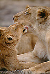 African lion and cub, Kruger National Park, South Africa