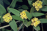 California Bay, California Bay Laurel, or California Laurel (Umbellularia californica), Tulare County, California, USA