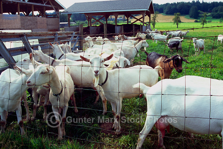 Fraser Valley Goat Farm, Langley, BC, British Columbia, Canada - Saanen Goats and Nubian / Alpine Goat await milking for Cheese Production