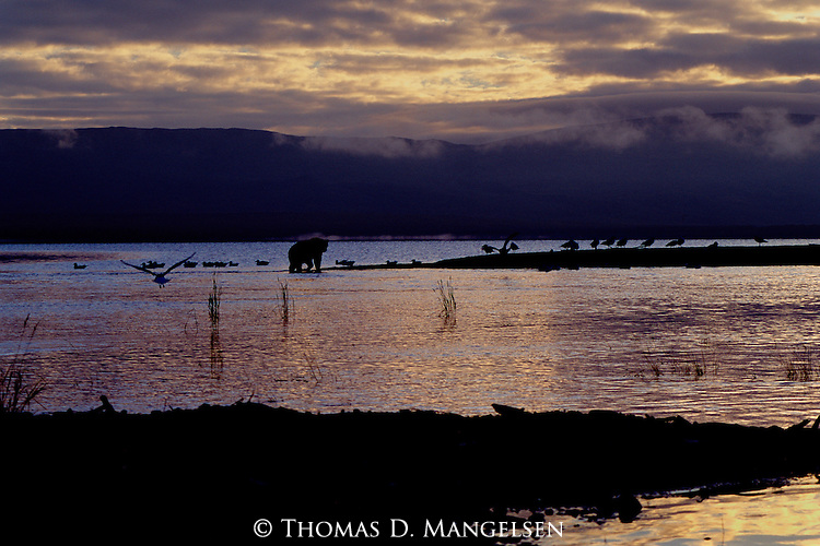 Brown Bear foraging on a point in Naknek Lake.