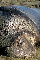 Large male Northern Elephant Seal (Mirounga angustirostris) resting on beach.