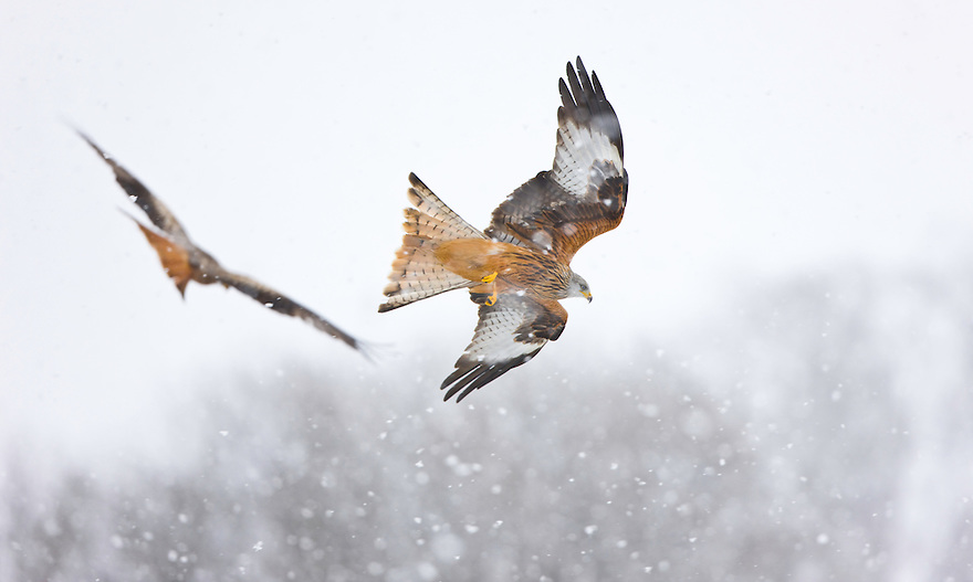 RED KITE, MILANO REAL (Milvus milvus), Rhayader, Mid Wales, United Kingdom