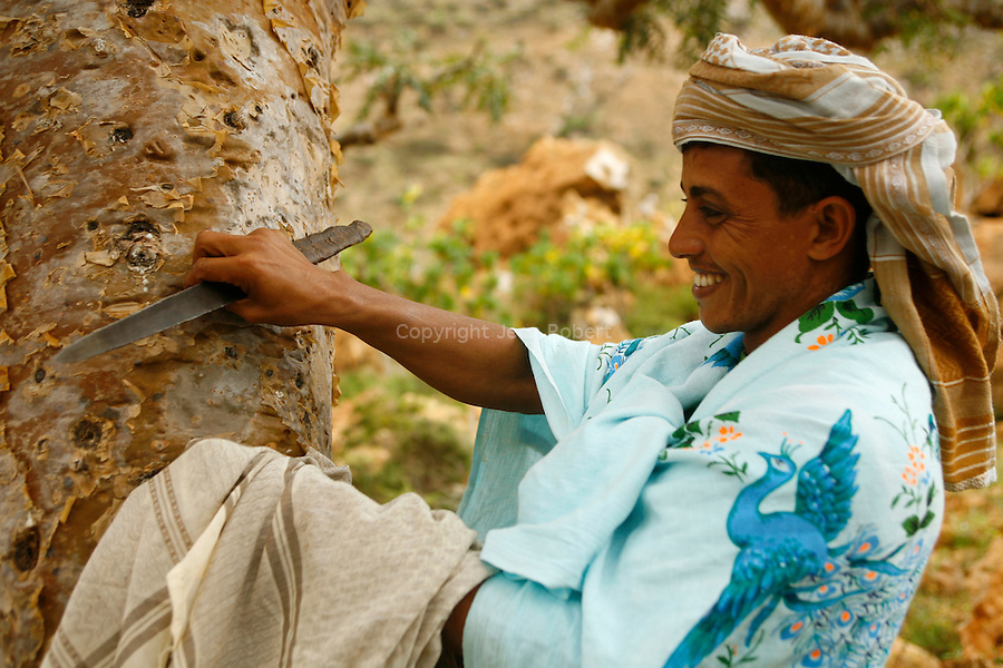 . Recolt of the gum of the Socotran Frankincense (Boswellia elongata) nerzaby Homhil valley Socotra island. Yemen