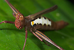 Airplane Grasshopper, Pseudomastax sp., Manu, Peru, jungle, amazon, on leaf, brown with white banding .South America....