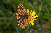 Skabiosen-Scheckenfalter, Goldener Scheckenfalter, Abbiss-Scheckenfalter, Euphydryas aurinia, Eurodryas aurinia, marsh fritillary, greasy fritillary