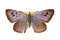 Large Blue (Maculinea arion), extinct in the UK in 1979, but it has since been reintroduced. Museum specimen, originating from UK. website