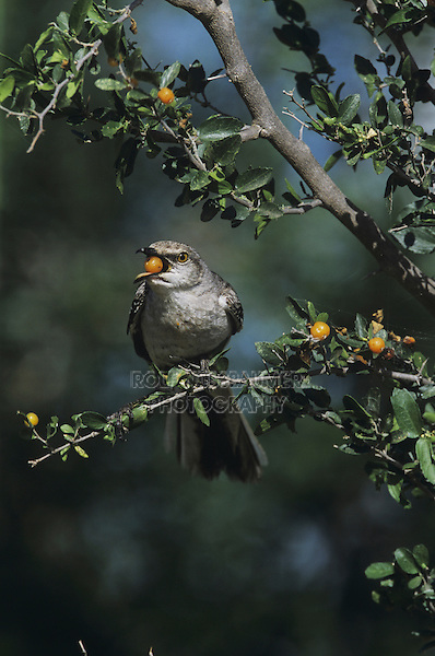 Northern Mockingbird (Mimus polyglottos),adult eating berries of Desert Hackberry (Celtis pallida),Starr County, Rio Grande Valley, Texas, USA