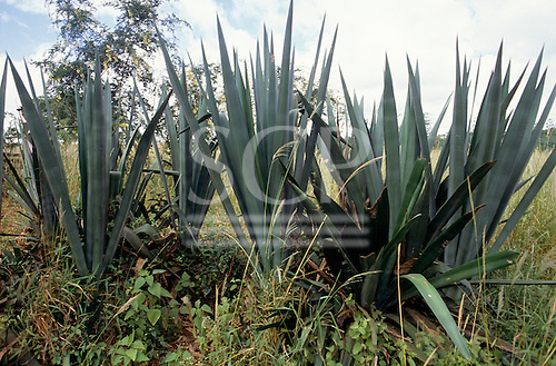 Bahia, Brazil. Sisal (Agave sisalana) plantation in the interior of the state near Feira de Santana.