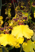 Oncidium Jiuhbao Gold