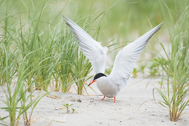 Common Tern (Sterna hirundo), adult in breeding plumage, landing at its nest in which two eggs are visible, Nickerson Beach, Long Island, New York, USA