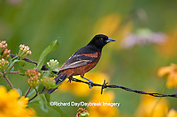 01618-01208 Orchard Oriole (Icterus spurius) male on barbed wire fence in flower garden,  Marion Co., IL