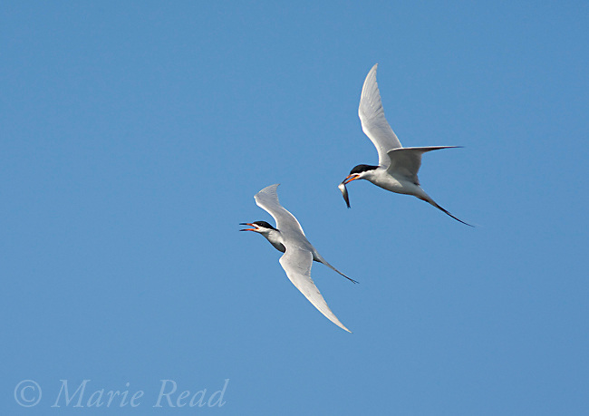 "Forster's Terns (Sterna forsteri) pair during courtship flight (""high flight""), one carrying fish, Bolsa Chica Ecological Reserve, California, USA"