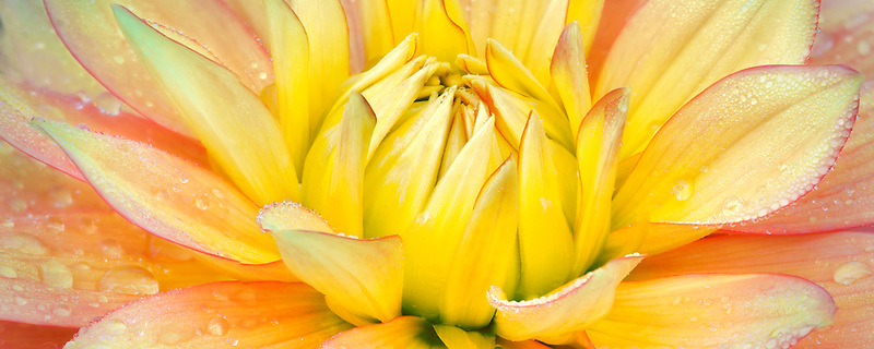 Dahlias variety Candlelight. Swan Island Dahlia Farm. Oregon