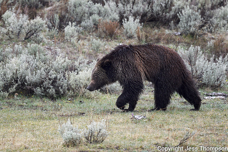 Grizzly Cub, Yellowstone