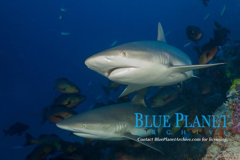 Grey Reef Sharks, Carcharhinus amblyrhynchos, Nagali, Fiji
