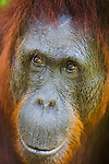 Female orangutan, portrait, (Pongo pygmaeus), endangered species due to loss of habitat, spread of oil palm plantations, Tanjung Puting National Park, Borneo, East Kalimantan,