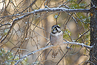 Hawk Owl in winter, Jasper National Park, Alberta, Canada