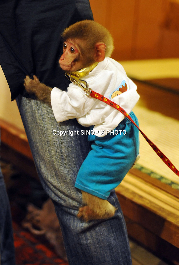 A one year old monkey called Takara-kun at an Izakaya bar in north of Tokyo, Japan. The baby will be trained to be a waiter when he reaches three years of age. The bar is extremely popular amongst people from all over Japan who come to see the monkey waiters.
