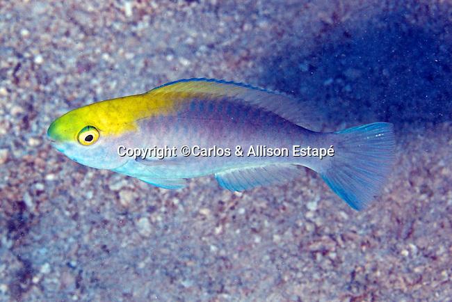 Scarus coeruleus, Blue parrotfish, juvenile, Florida Keys