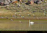 American Avocets in Breeding Plumage and Trumpeter Swan, Trout Lake, Yellowstone National Park, Wyoming