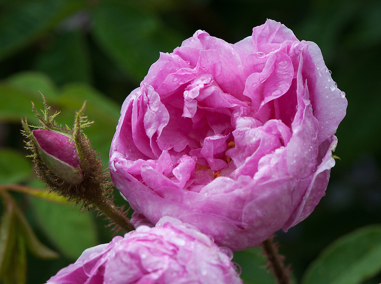 Rosa 'Rene d'Anjou', early June. A deep pink Moss Rose that originated from France, 1853.