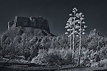 Three Century Plants along Bell Rock Pathway (Infrared)