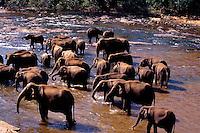 Elephants in river elephant orphanage Pinnawela Sri Lanka