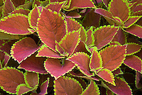 Solenostemon Coleus 'Trusty Rusty', reddish annual foliage plant with yellow picotee leaf edges. RHS Award of Garden Merit AGM. aka 'Ufo6419'